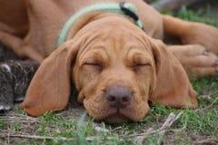 Cucciolo di Vizsla del Magyar Fotografia Stock Libera da Diritti