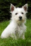 Cucciolo di Westie su erba Fotografia Stock