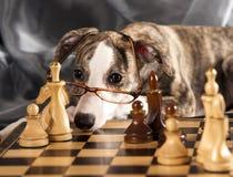 Cucciolo di Whippet Fotografia Stock