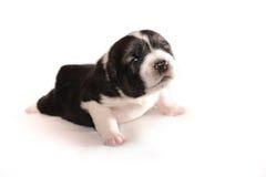 Cucciolo di Yonug un'età di 2 settimane. Pastore asiatico Immagini Stock Libere da Diritti