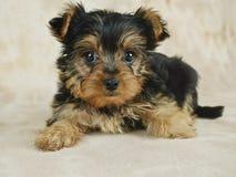 Cucciolo di Yorkie Fotografia Stock
