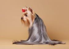Cucciolo di Yorkie Immagine Stock Libera da Diritti