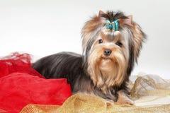 Cucciolo di Yorkie sui vestiti Fotografie Stock