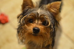 Cucciolo di Yorkshire Immagine Stock Libera da Diritti