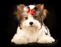 cucciolo diBiewer-York immagine stock