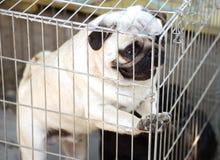 Cucciolo divertente del carlino Fotografia Stock Libera da Diritti