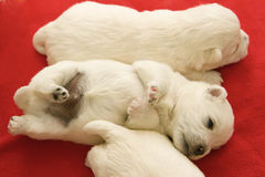 Cucciolo divertente del Terrier bianco di altopiano ad ovest Fotografia Stock