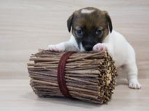 Cucciolo divertente del terrier di russell della presa di 1 mese fotografia stock