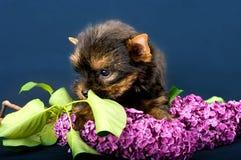 Cucciolo divertente dell'Yorkshire terrier del piccolo cane Fotografia Stock