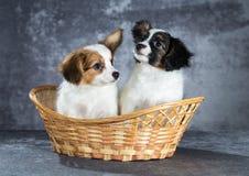 Cucciolo divertente di due Papillon Fotografie Stock Libere da Diritti