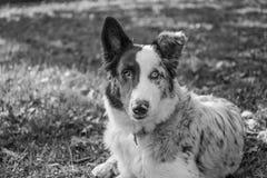 Cucciolo divertente e sveglio del cane da pastore australiano immagine stock