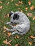 Cucciolo divertente fra le foglie di autunno Fotografia Stock