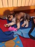 Cucciolo dolce del papavero del cane Fotografie Stock