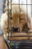Cucciolo dorato Fotografia Stock Libera da Diritti