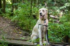 Cucciolo dorato Fotografia Stock