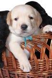 Cucciolo dorato del Labrador Fotografie Stock Libere da Diritti