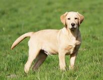 Cucciolo dorato del Labrador Immagine Stock Libera da Diritti
