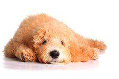 Cucciolo dorato di doodle Immagini Stock Libere da Diritti