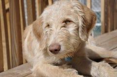 Cucciolo dorato di doodle Fotografia Stock