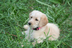 Cucciolo dorato di Labradoodle Immagini Stock Libere da Diritti