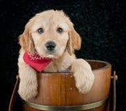 Cucciolo dorato di scarabocchio Immagini Stock Libere da Diritti