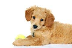 Cucciolo dorato miniatura di Doodle Immagine Stock Libera da Diritti