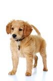 Cucciolo dorato miniatura sveglio di Doodle Fotografia Stock Libera da Diritti