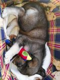 Cucciolo doux de pavot de chien Image stock