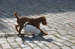 Cucciolo due Fotografie Stock