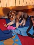 Cucciolo dulce de la amapola del perro Imagenes de archivo
