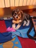 Cucciolo dulce de la amapola del perro Imagen de archivo libre de regalías