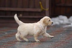 Cucciolo durante la camminata Immagini Stock Libere da Diritti
