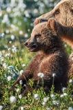 Cucciolo e orsa di orso bruno nella foresta di estate, fra i fiori bianchi fotografia stock libera da diritti