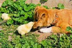 Cucciolo e polli Fotografia Stock