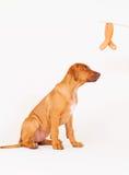 Cucciolo e salsiccia Fotografia Stock