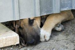 Cucciolo e una catena. Fotografie Stock