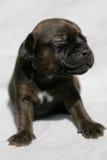 Cucciolo faticoso Fotografie Stock Libere da Diritti