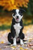 Cucciolo felice border collie Immagini Stock