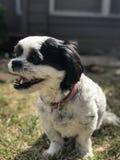 Cucciolo felice di Shitzu immagini stock libere da diritti
