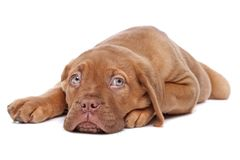 Cucciolo francese del Mastiff fotografie stock