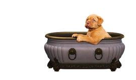 Cucciolo francese del mastino in una vasca Fotografie Stock