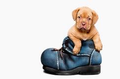 Cucciolo francese del mastino in uno stivale Fotografia Stock Libera da Diritti