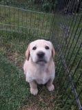 Cucciolo giallo adorabile di Labrador che si siede nell'erba immagine stock libera da diritti