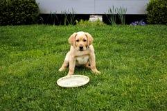 Cucciolo giallo del documentalista di labrador Fotografie Stock
