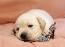 Cucciolo giallo del labrador appena nato Immagine Stock