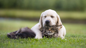 Cucciolo giallo di Labrador che gioca con il cucciolo Immagine Stock Libera da Diritti