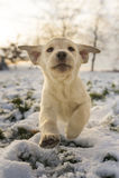 Cucciolo giallo di Labrador che gioca sulla neve Immagini Stock