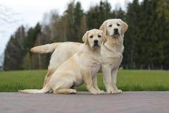Cucciolo giallo di Labrador con l'amico Immagine Stock