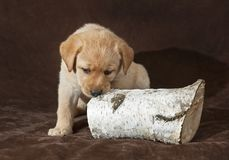 Cucciolo giallo di labrador retriever che mastica un ceppo fotografie stock
