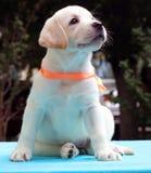 Cucciolo giallo felice di labrador su seduta blu Fotografia Stock Libera da Diritti
